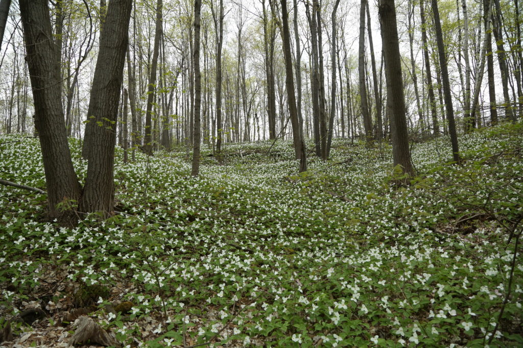 A field of trilliums in Richmond Hill, ON